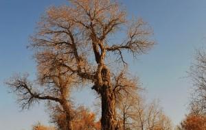 【塔克拉玛干沙漠图片】穿越塔克拉玛干胡杨之旅--世界唯一的胡杨林公园