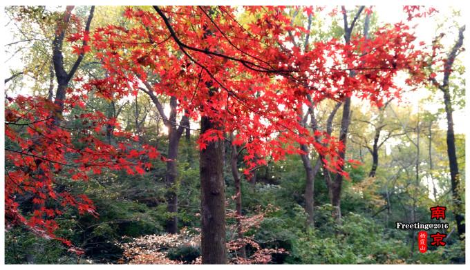 第三天:鐘山風景區之秋 day 03:11月15日晴   南京:明孝陵,美齡宮