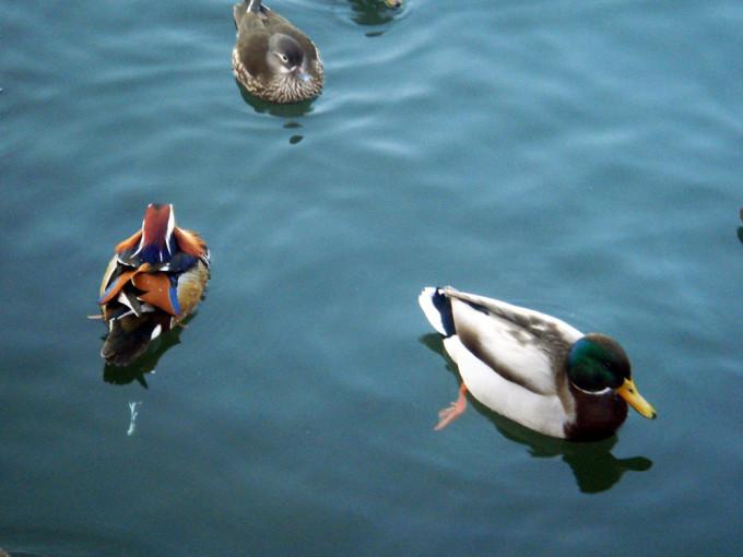水中游的鸭子 鸳鸯