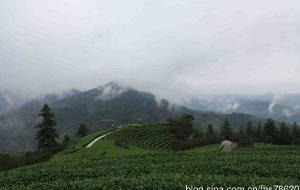 【三江图片】广西柳州三江县布央茶园探秘