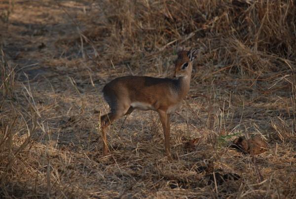 当大家还沉浸于登顶的喜悦中;当身上的肌肉群还处于紧绷的状态之中;当衣服上的尘土还没完全拭去,带着对大草原上奔跑精灵们的憧憬,我们开始了第二段旅途观赏野生动物大迁徙。 整段行程共计4天,分别游经Tarangire,Serengeti和Ngorongoro三个国家公园,途中还拜访了非洲大草原上的游牧民族马赛兄弟的村落。 首先介绍一下非洲的动物为什么要大迁徙。我的地盘我做主,在自己的地盘上,每一类物种自由和谐的生活着不多好?每天吃吃草,尝尝肉,看看日出日落,为何要不远万里,在肯尼亚和坦桑尼亚两个国家之间,