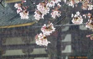 【山梨县图片】春雨樱花和富士山-----4月的日本京都六天行,在四合目聆听大自然奇妙的音乐