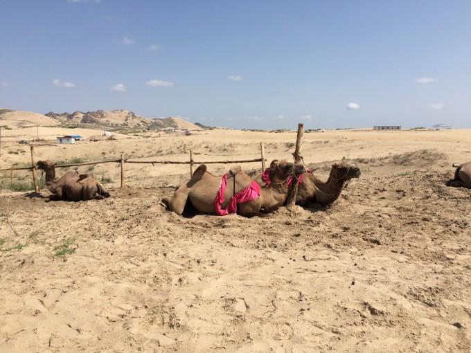 去到另外一片沙漠 我们排队骑了骆驼!