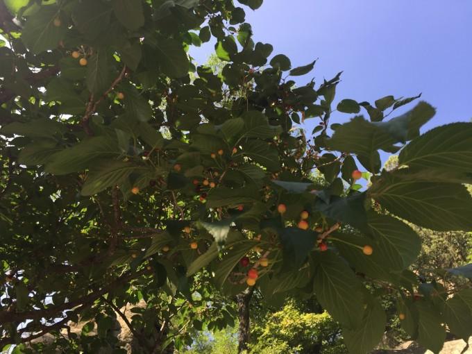 发现一颗野生樱桃树,好好吃哦,虽然个头小图片