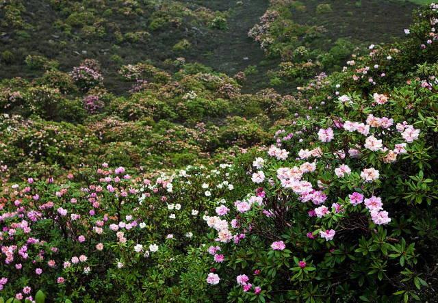 2018年西藏五六月份最全杜鹃花赏花攻略